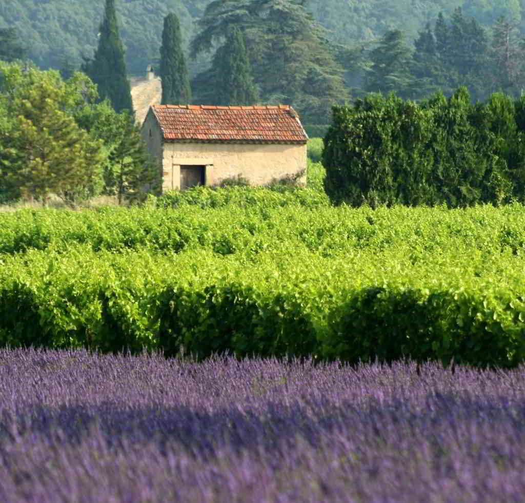 When is lavender in bloom in Provence?