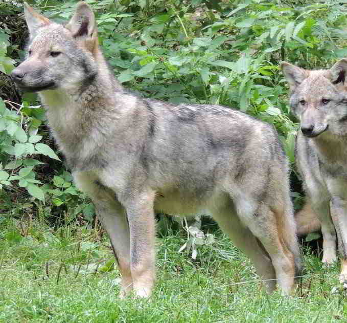 wolfes Mercantour National Park