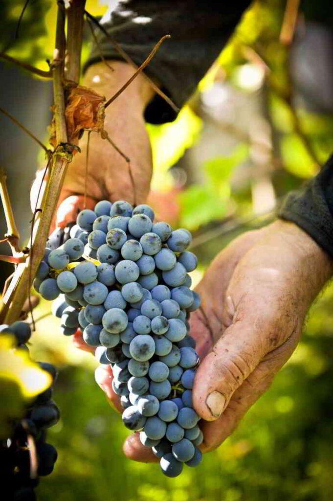 Burgundy grape