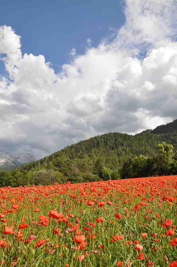 french riviera hinterland poppy field