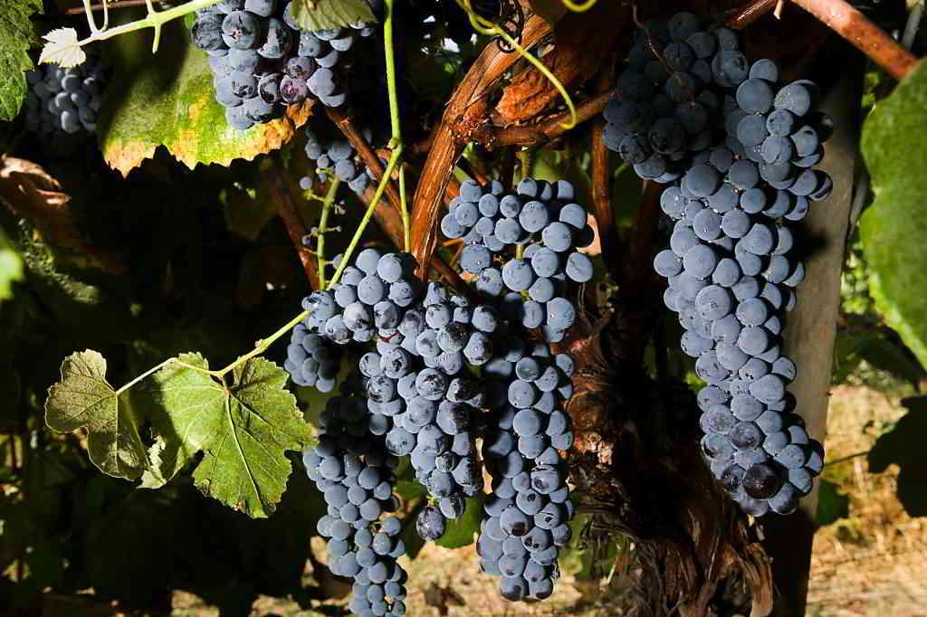 Californian Grapes