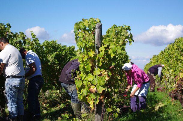 Bergerac's harvest