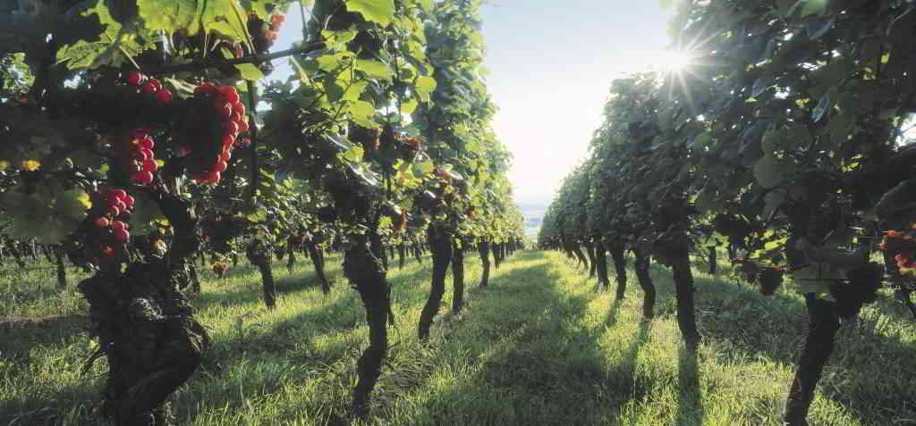 Alsace wineyards