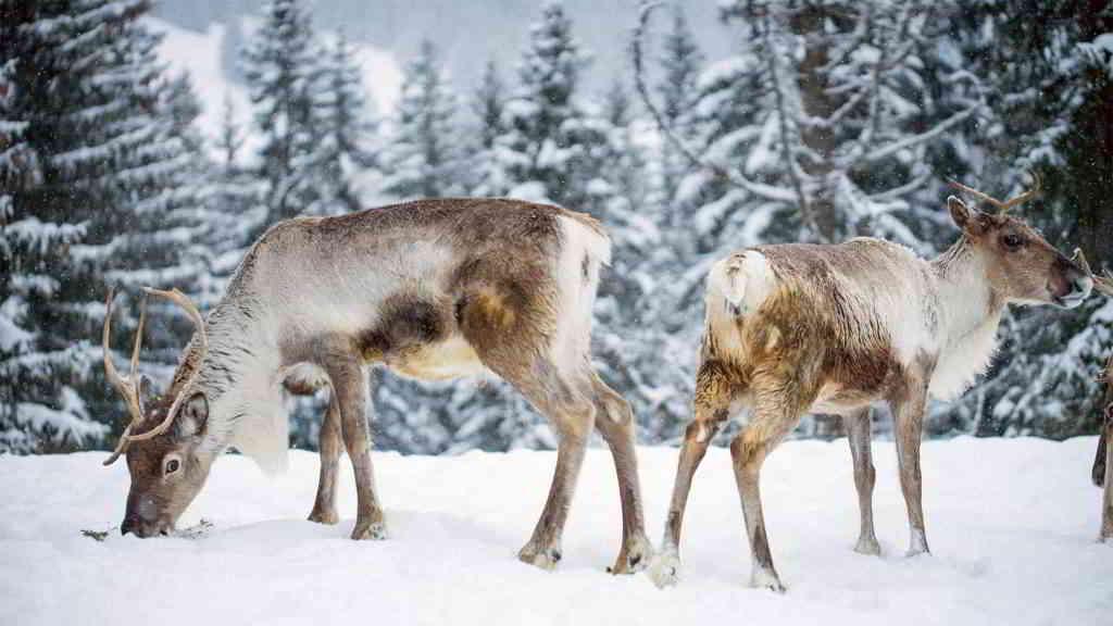 alps reindeers snow