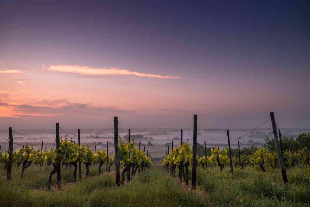 Champagne Vineyards at Sunset