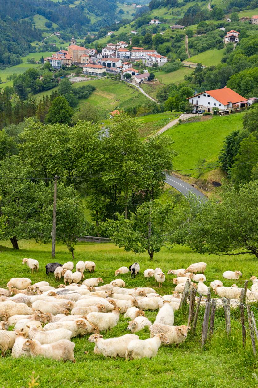countryside basque country sheep panorama