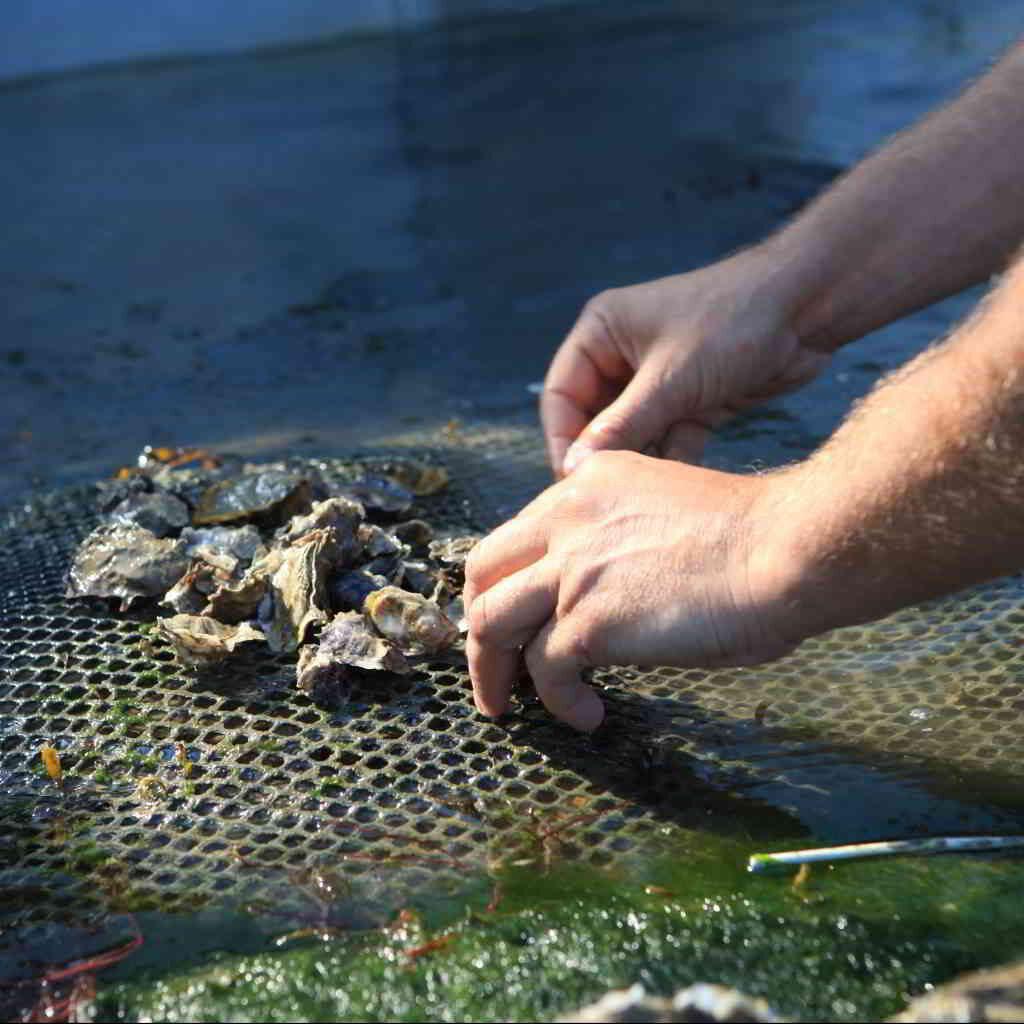 Oyster farm close up @crtb