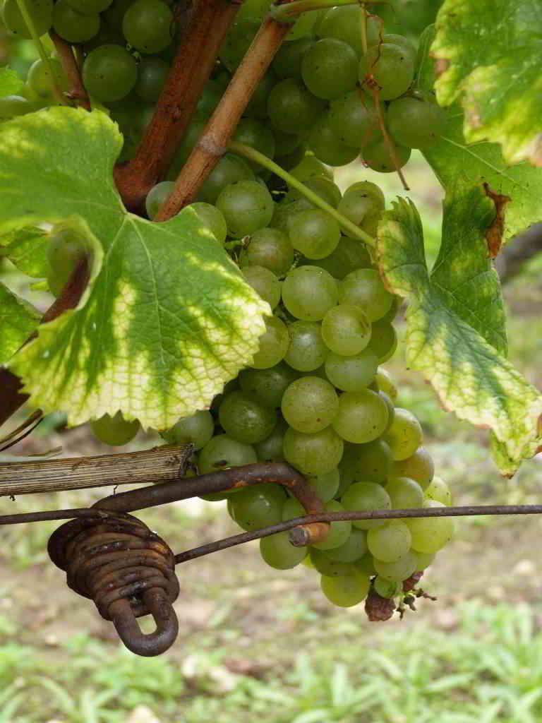 dordogne grapes wine