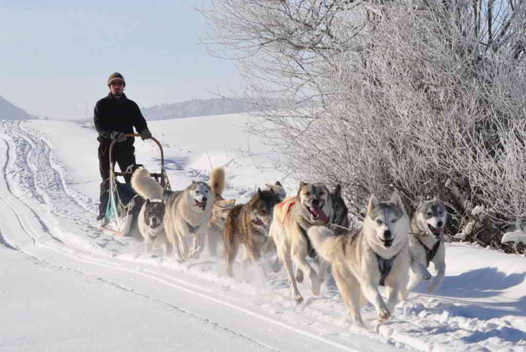 alps sled dog nature