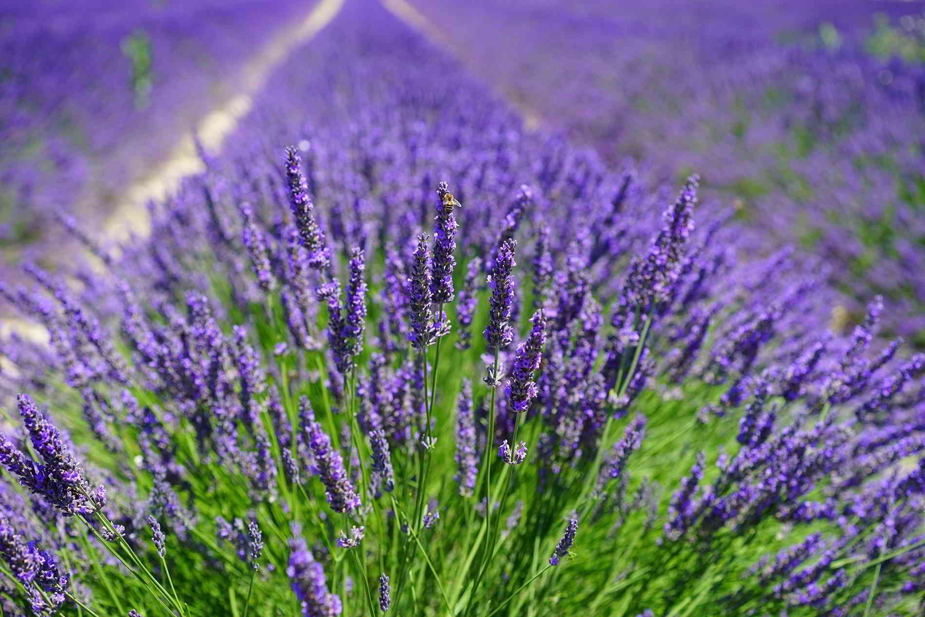 Lavender fields in Provence bee on lavender