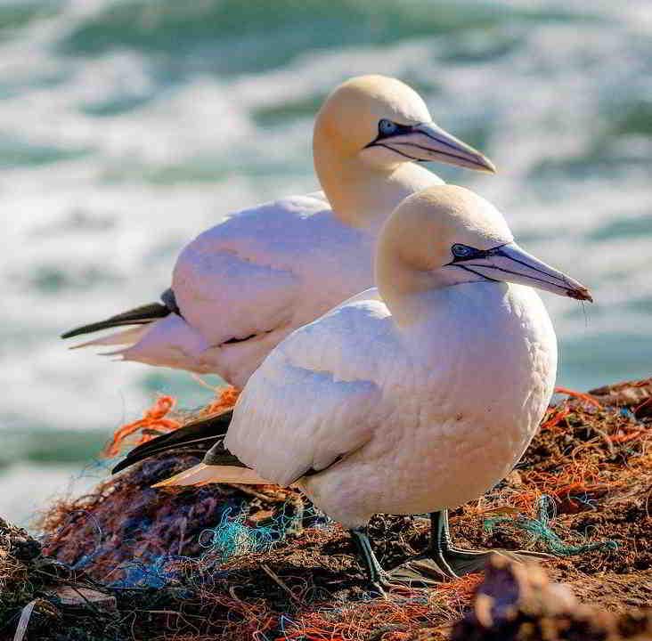 sea birds france northern gannet