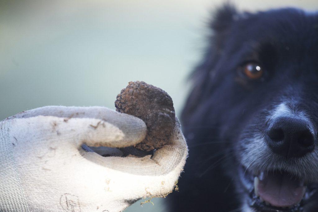 Seeking Truffles in Burgundy
