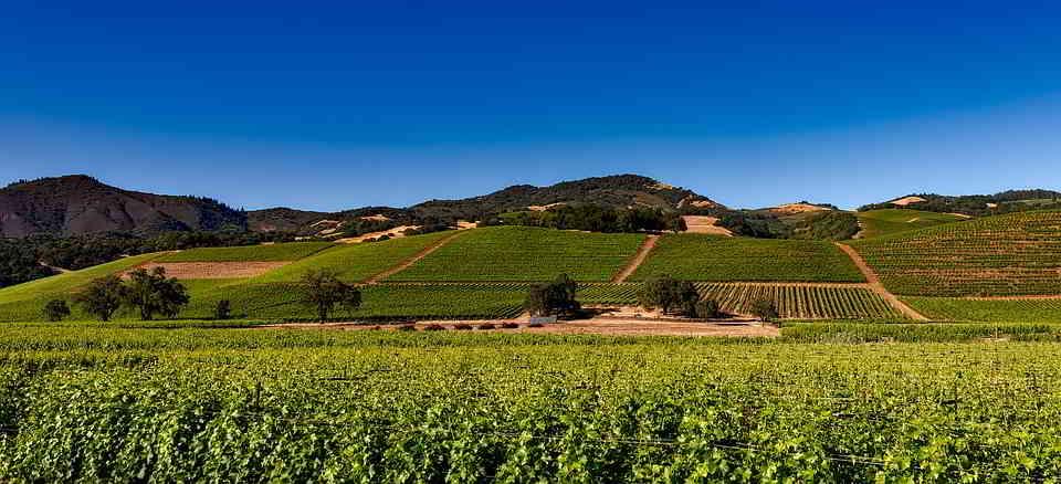 Burgundy vineyards at the harvest time